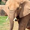 Elephant at  San Diego wild animal park