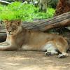 Lion at San Diego wild animal park