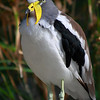 """I believed this one is called """"Yellow-wattled Lapwing"""".  Please correct me if it is wrong."""