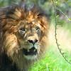 A male lion at San Diego wild animal park