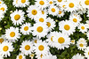 Daisies from the Top