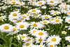 Daisies from the Side