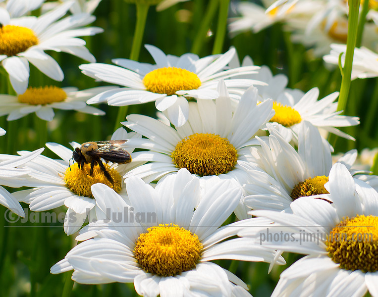 Field of Daisies 4