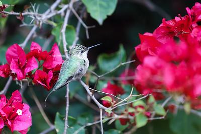 Resting hummingbird on bougainvillea