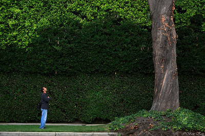 A huge hedge and a tree.