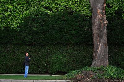 A huge hedge and a tree.