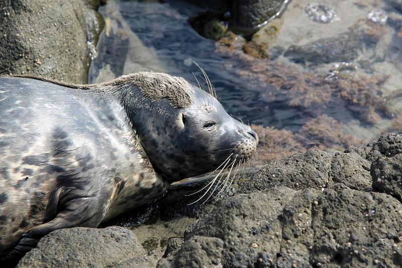 baby seal close-up