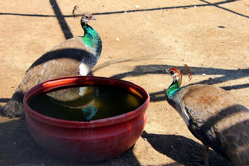 peacock reflection