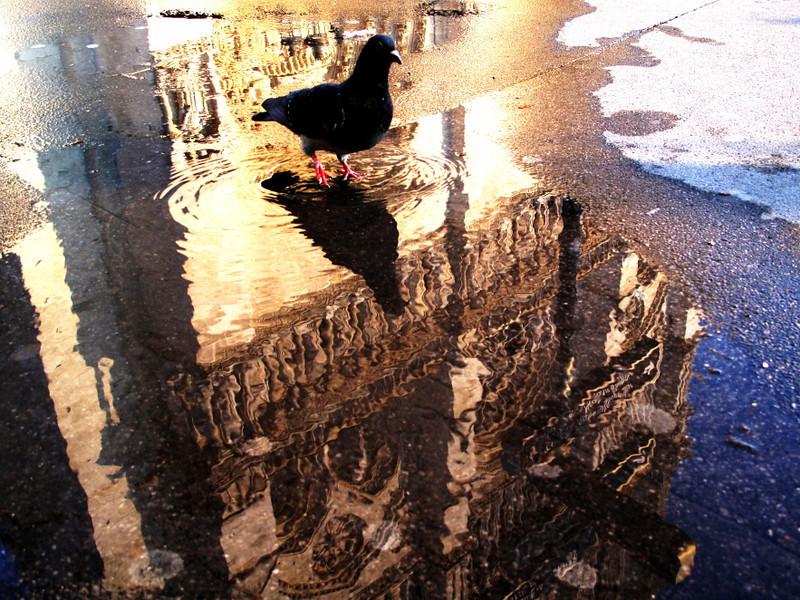 devoted pigeon 4