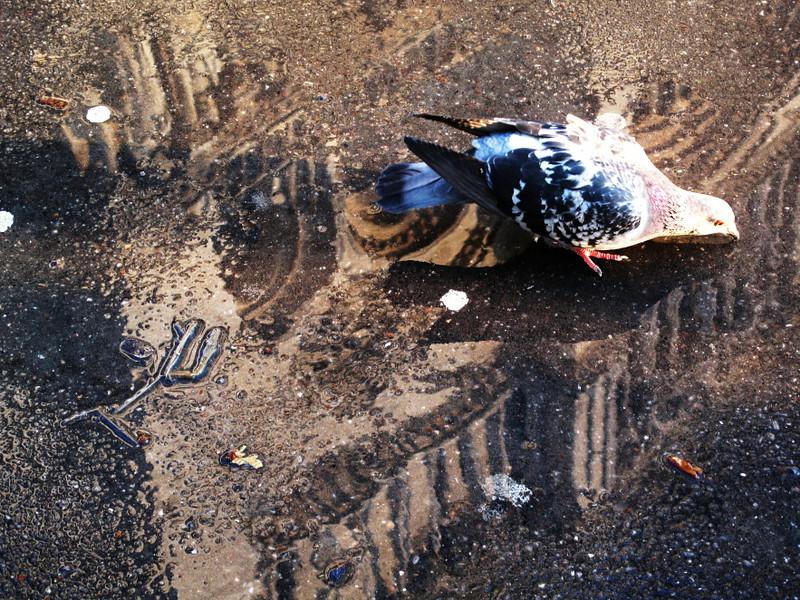 devoted pigeon 1
