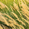 Reed in the wind