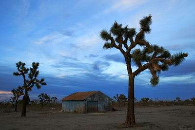 Joshua trees and a barn