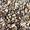 piles of mussels