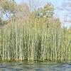 water reeds at El Dorado East Regional Park