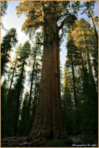 General Sherman, the biggest tree alive in the world.