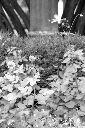A Lone Flower BW