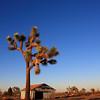 A Joshua Tree