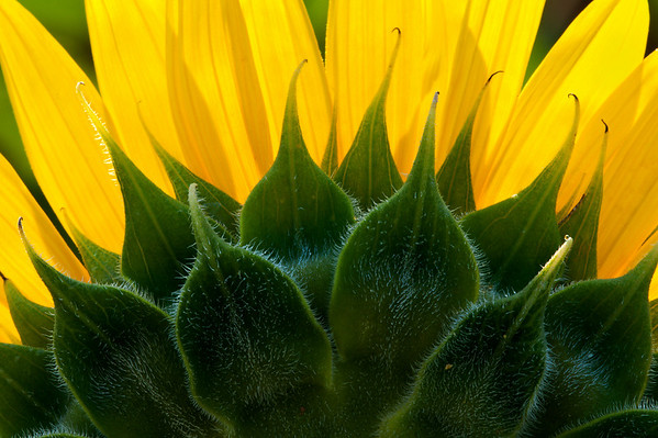 2010-07-05_Sunflowers_Zwit_0311-Edit