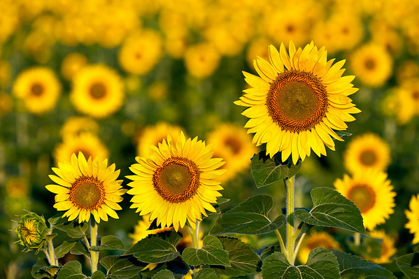 2010-07-05_Sunflowers_Zwit_0159-Edit