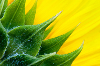 2010-07-05_Sunflowers_Zwit_0027-Edit