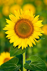 2010-07-05_Sunflowers_Zwit_0225-Edit