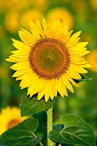 2010-07-05_Sunflowers_Zwit_0225-Edit