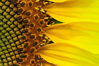 2010-07-05_Sunflowers_Zwit_0343-Edit