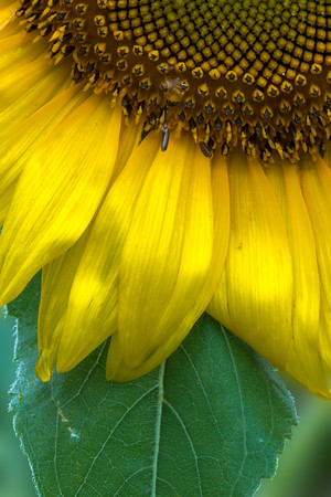 2013-07-13_Sunflowers_Zwit_0272-BW