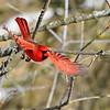 Cardinal in Flight (2)