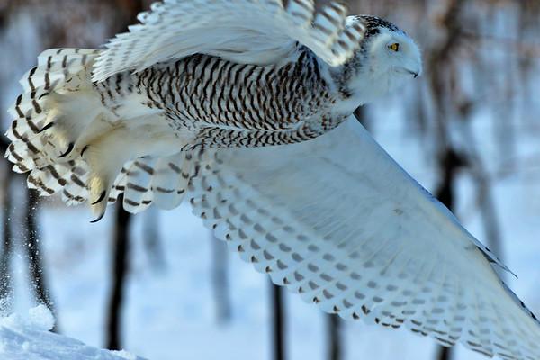 Favorite photo of owl in flight
