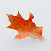 Oak Leaf in Pond