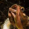 Fringehead eating krill