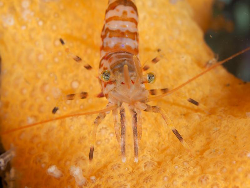 Shrimp on dead man's fingers coral