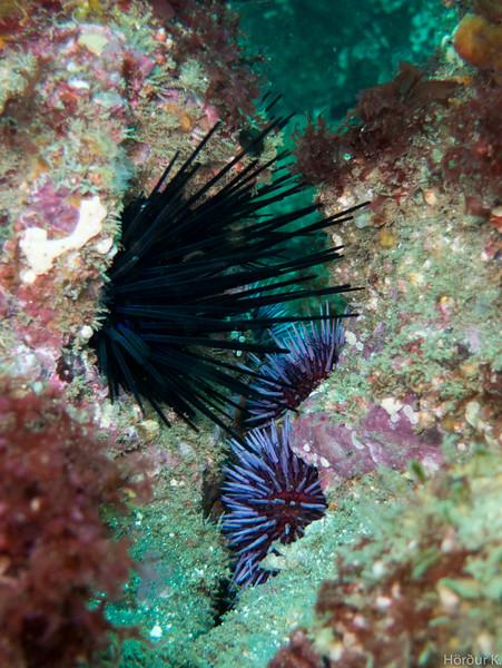 Crowned sea urchin