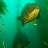 Two Giant Black Sea Bass