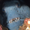 Atlantic Wolffish chilling in a hole