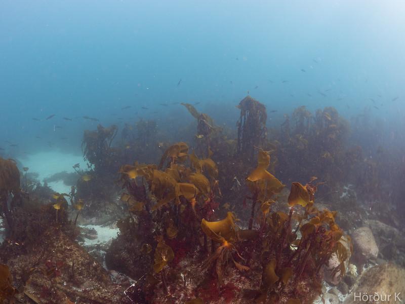 Kelp and fish