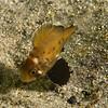 Juvenile Black Sea Bass