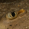 Eye of a thornback ray