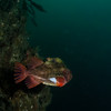 Cyclopterus lumpus