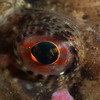 Shorthorn sculpin eye