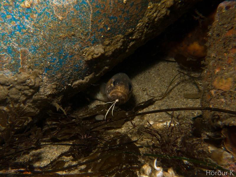 Basketweave cusk eel
