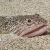 Atlantic Lizardfish