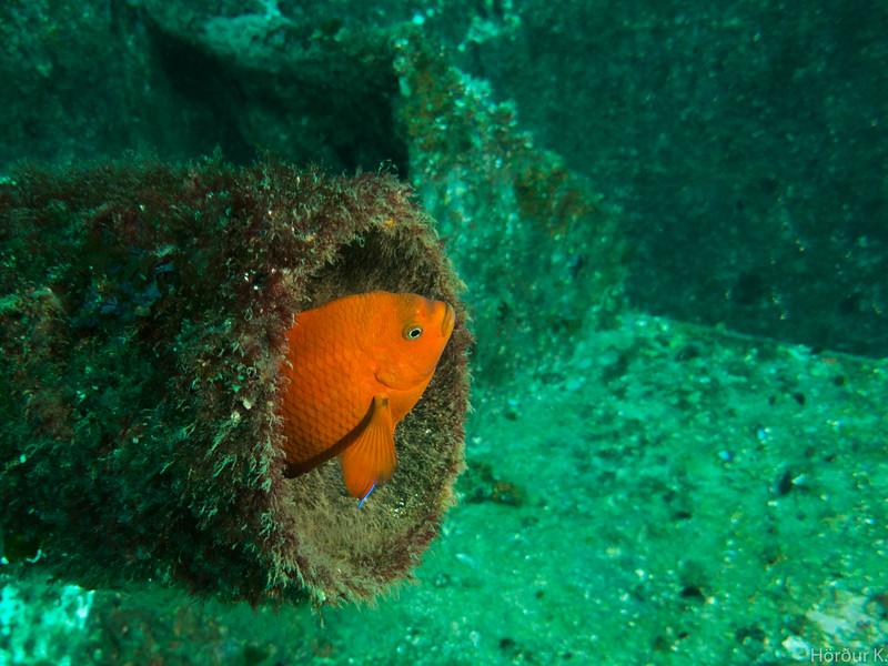 Garibaldi peeking out from his pipe