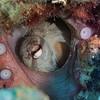 Octopus tucked in