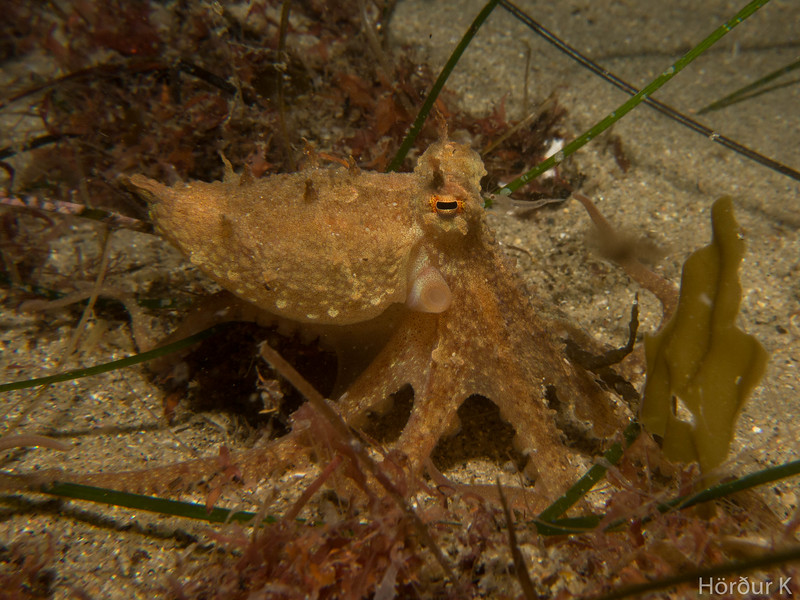 Suspecting Octopus