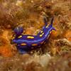 Nudibranch: Hypselodoris californica