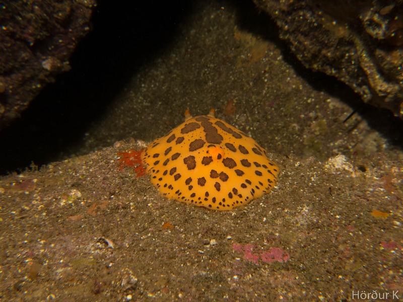 Peltodoris mullineri nudibranch