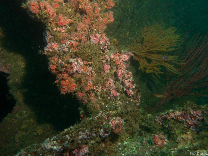 Strawberry anemone on the Avalon