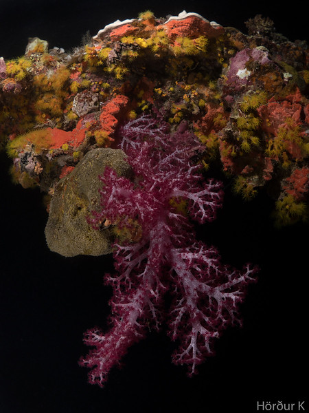 Carnation Coral